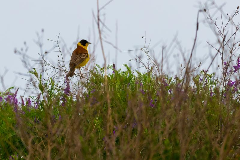 Black-headed Bunting. Yellow bird with black head sitting on a branch. Yellowhammer or Emberiza citrinella. Yellow bird with black head sitting on a branch royalty free stock photos