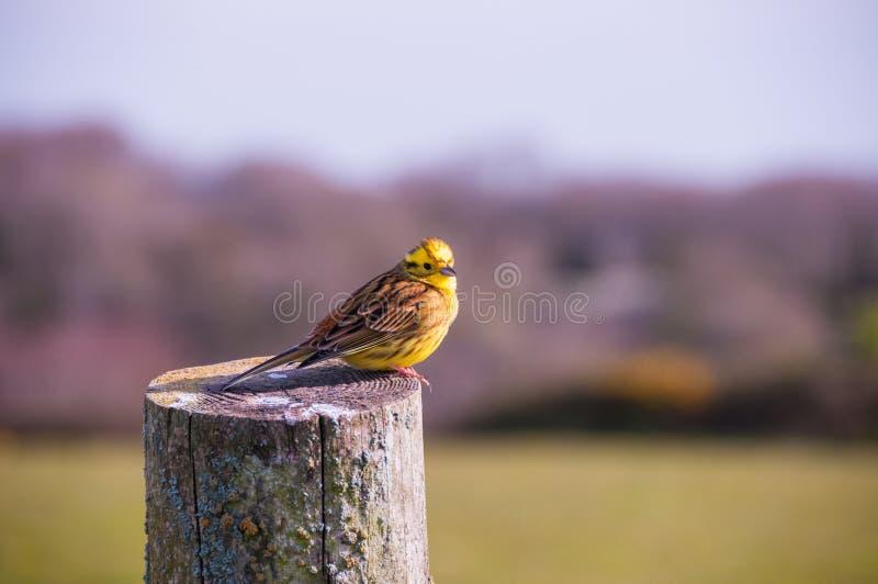 Yellowhammer fågel, Devon, Storbritannien royaltyfria bilder