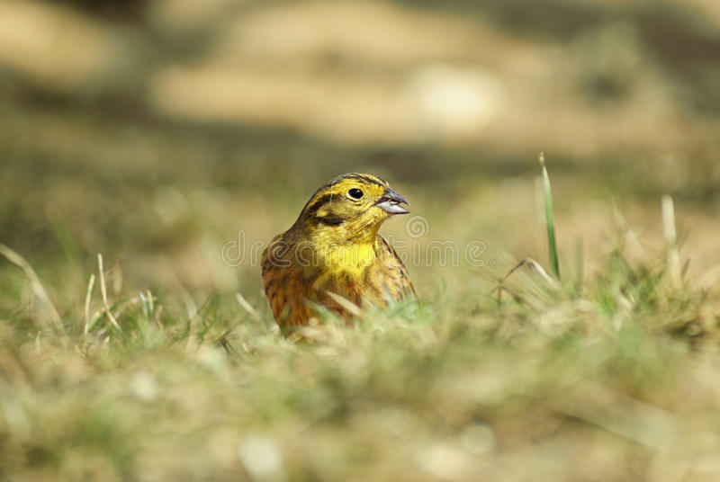 Download Yellowhammer on grass stock image. Image of fauna, feather - 13969715