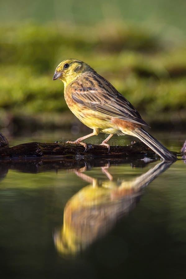 Yellowhammer lub Emberiza citrinella siedzi przy waterhole zdjęcia royalty free