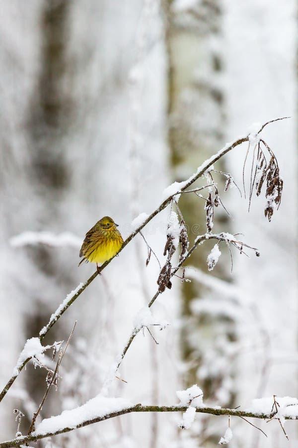 Yellowhammer na gałąź w zimnym lesie obrazy royalty free