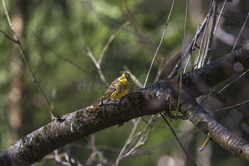 Yellowhammer obsiadanie na drzewie obraz stock