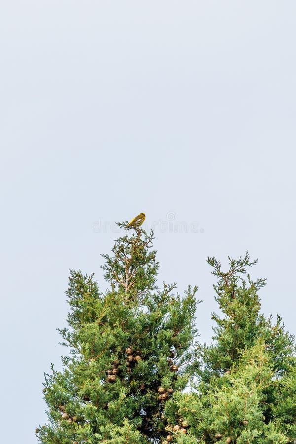 Yellowhammer obsiadanie w drzewie zdjęcie stock