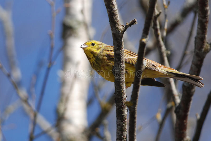Yellowhammer. Sitting on a branch stock photos