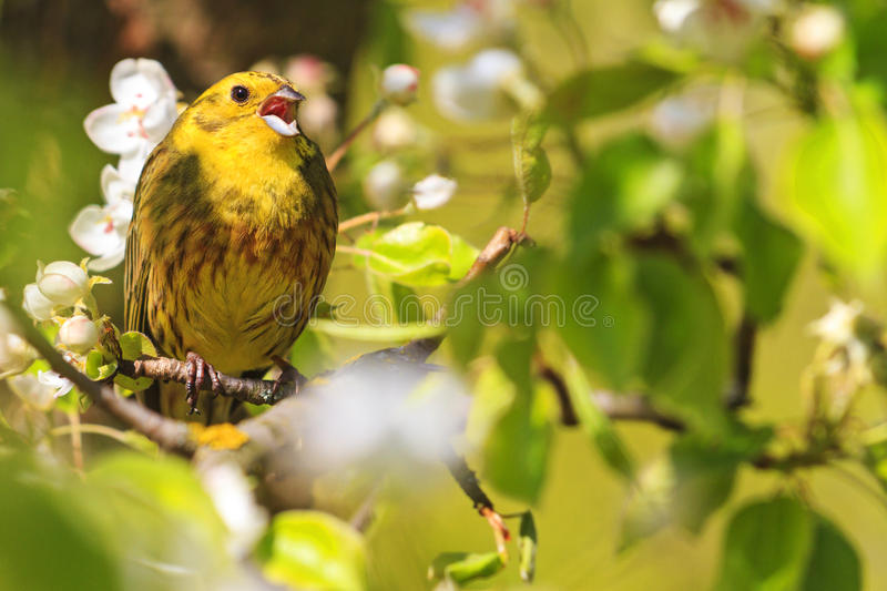 Superb Download Yellowhammer Of Spring Pear Blossom Sings The Song Stock Photo    Image Of Migratory,