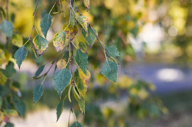 Yellowing birch leaves on a branch closeup. Yellowing birch leaves on a branch close up, copy space royalty free stock photography