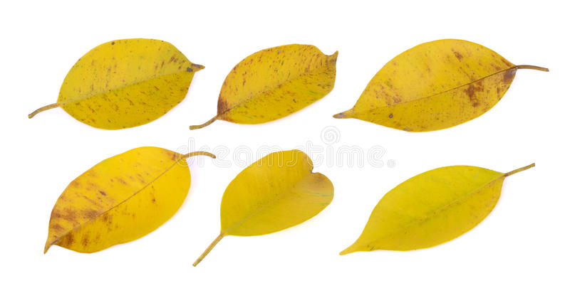 Yellowing leaf(banyan) on white royalty free stock photo