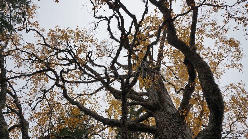 Yellowing tree royalty free stock photos