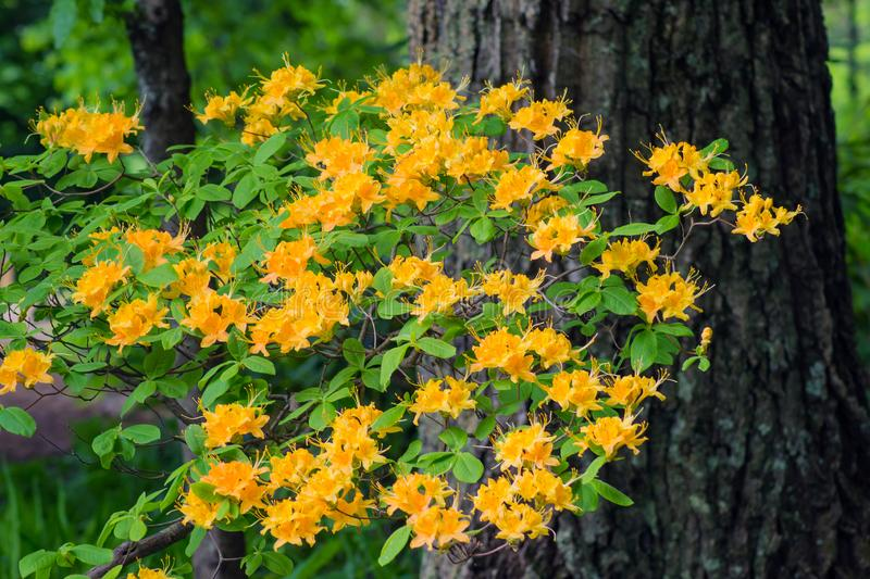 Yellowish Flame Azalea and Tree. Flame Azalea is a deciduous shrub that can found grassy balds on the Allegheny and Blue Ridge mountains in Virginia, USA stock images