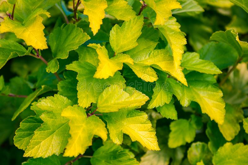 Yellowish green bush leaves. Leaves of a bush close up. Green and yellow tones. Autumn, city park. The background is blurred royalty free stock images