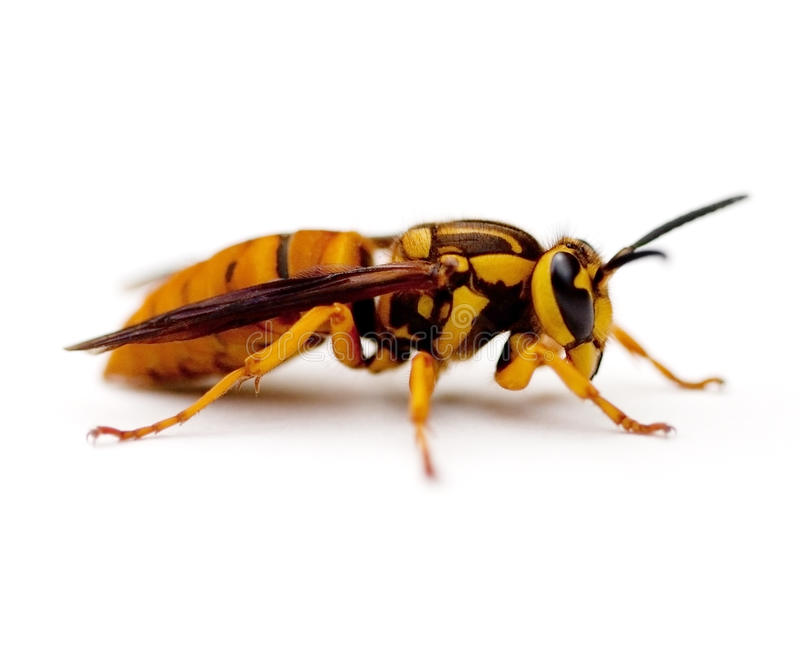 Yellowjacket. Southern Yellow Jacket Queen Wasp (Vespula squamosa) on white background stock photography
