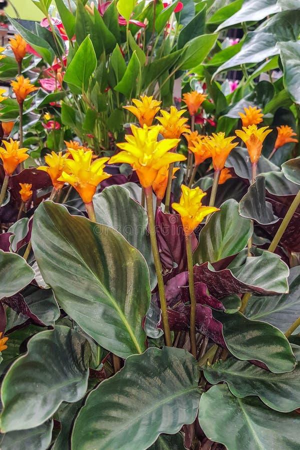 Yellowl kwitnie na ciemnym tropikalnym ulistnienie natury tle fotografia royalty free
