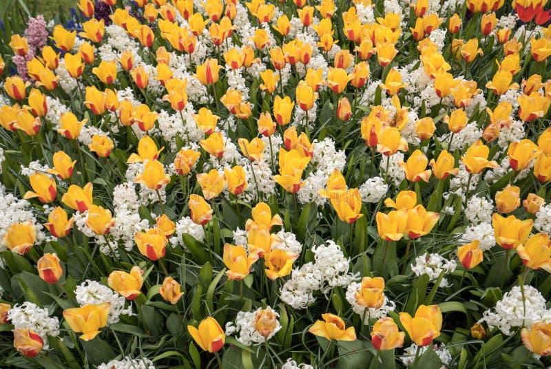 Yellowl tulipany i biały hiacyntowy kwitnienie w ogródzie obraz stock