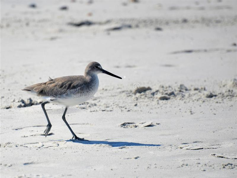 The Yellowleg quickly moves up the beach just outside of harms way royalty free stock photos