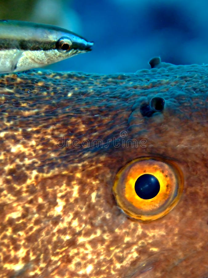 Free Yellowmargin Moray With Cleaner Wrasse Royalty Free Stock Photography - 19386837