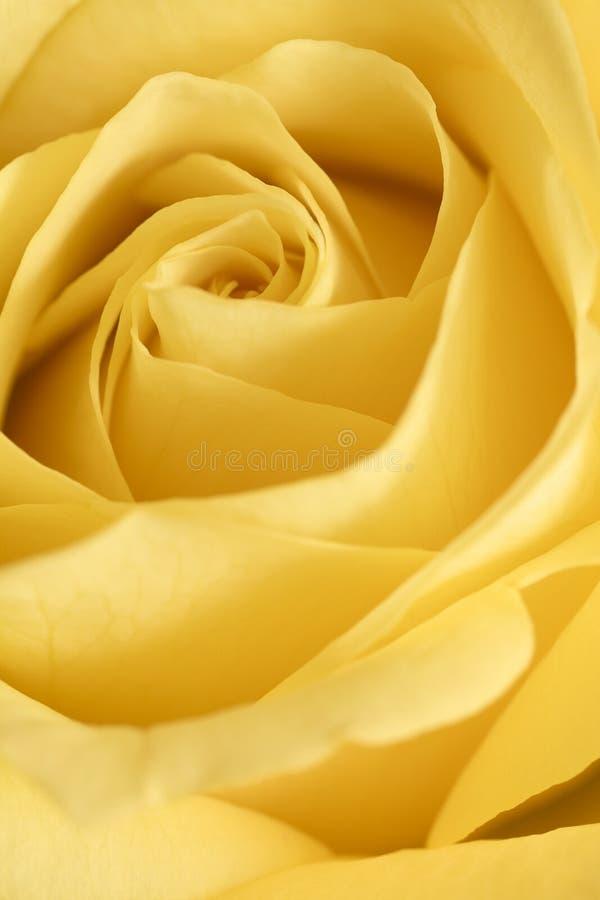 Yellowroseblomma arkivbilder