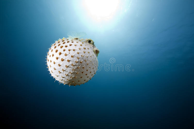 Yellowspotted burrfish and ocean royalty free stock photo