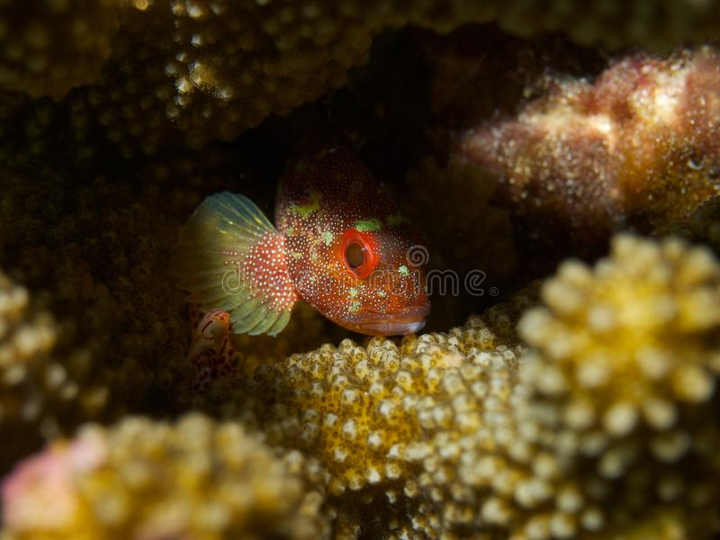 Download Yellowspotted Scorpionfish stock photo. Image of undersea - 33094282