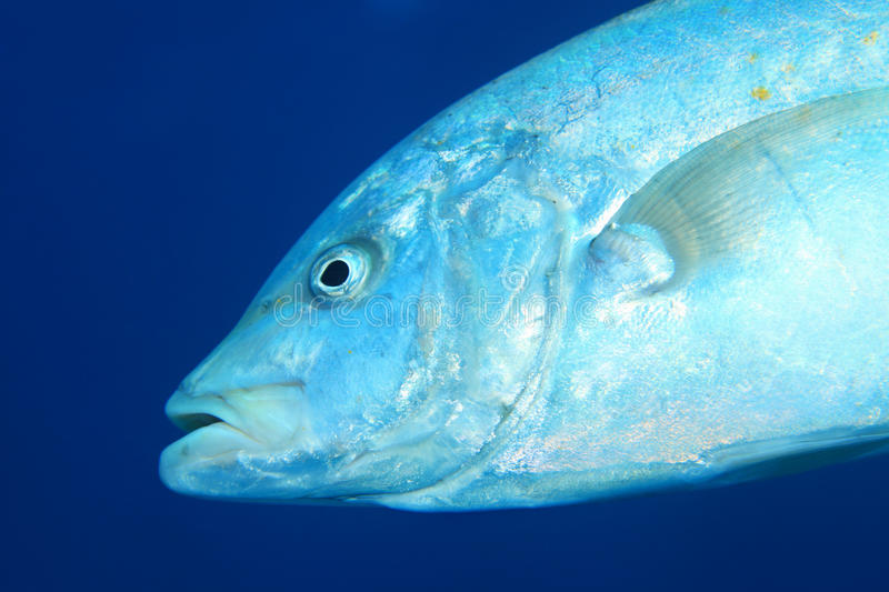 Yellowspotted trevally fish. Carangoides fulvoguttatus underwater in tropical Red Sea stock images
