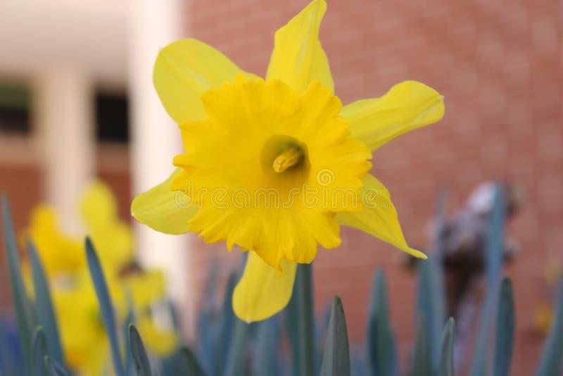 YellowStarburstFlower obraz royalty free