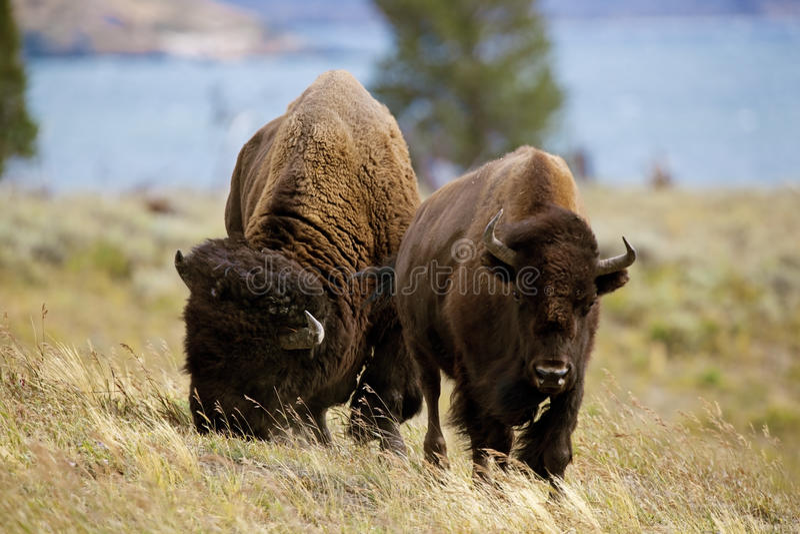 Yellowstone Żubr zdjęcie stock