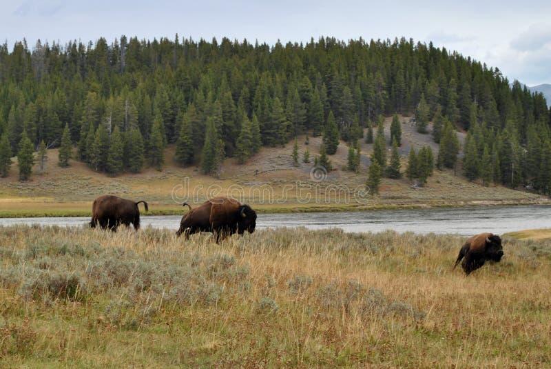 Yellowstone-Bison stockfotos