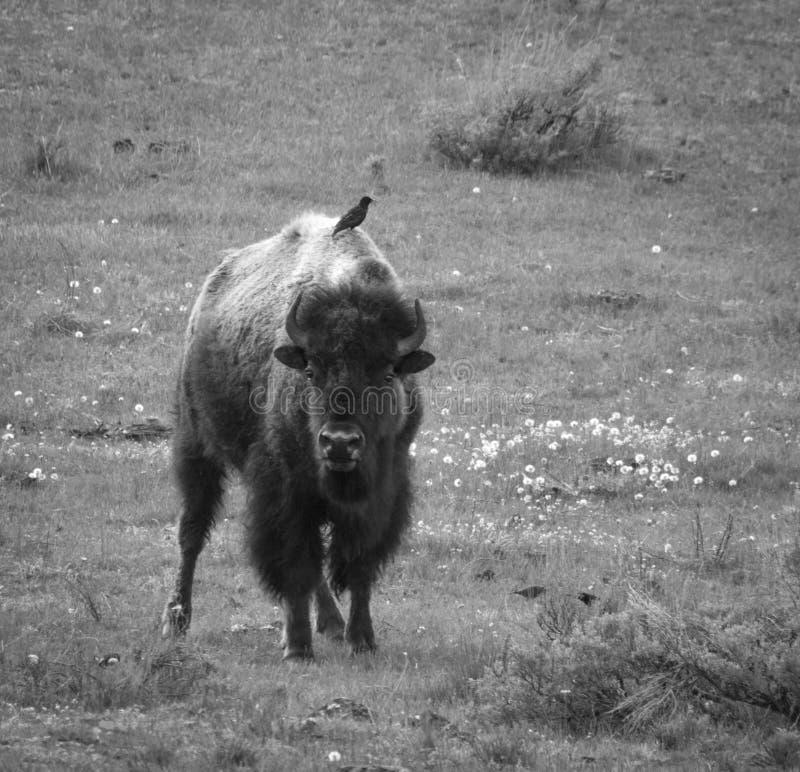 Yellowstone bison arkivbild