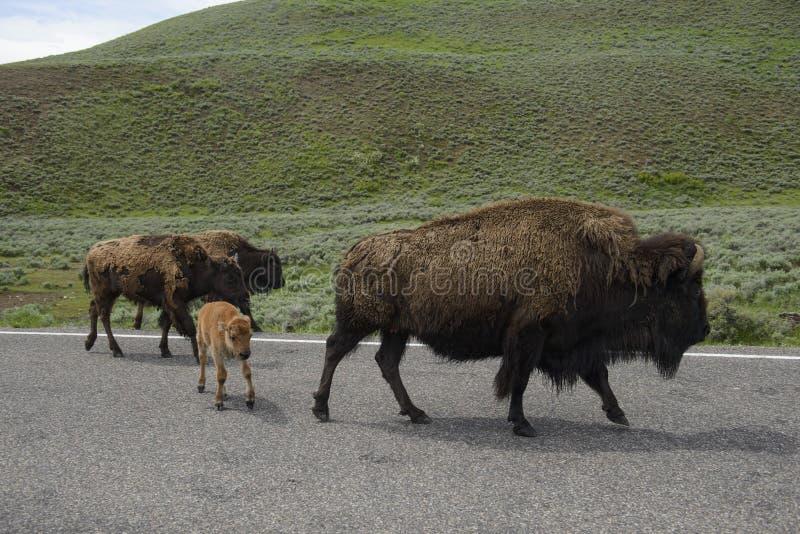 Yellowstone Bison Herd lizenzfreies stockbild