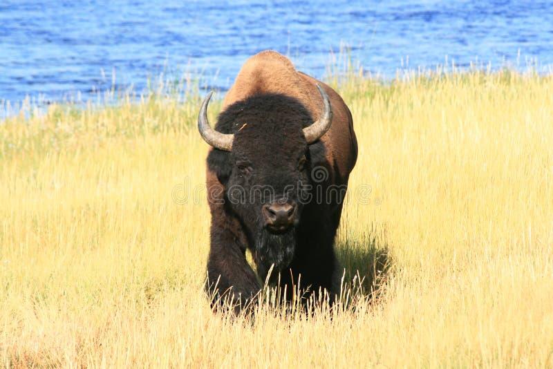 Yellowstone Buffalo royalty free stock image