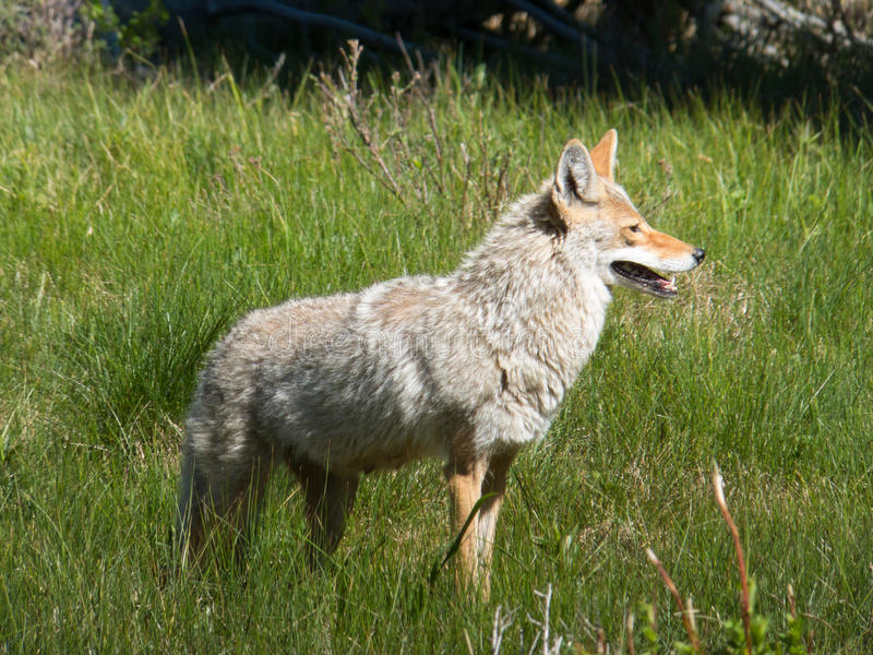 Yellowstone Coyote. Coyote hunting in a grassy field for ground squirrels at Yellowstone National Park, Wyoming, USA royalty free stock images