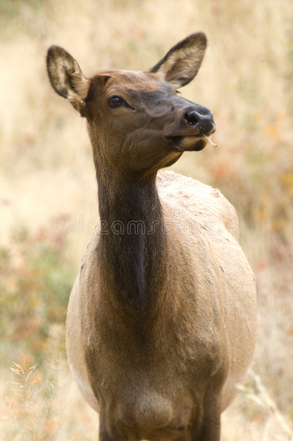 Free Yellowstone Elk Royalty Free Stock Photo - 6806835
