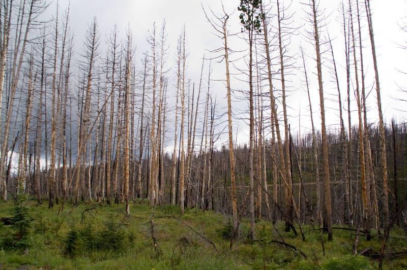 Yellowstone, Expired Trees Royalty Free Stock Photos