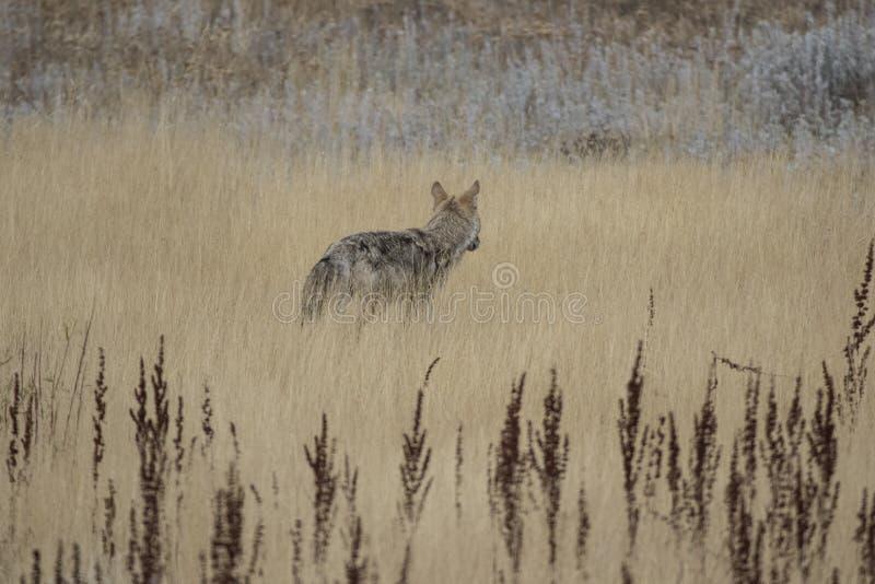 Yellowstone kojot obraz stock