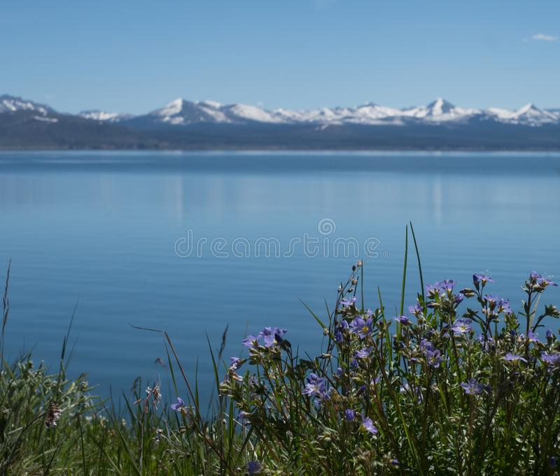 Yellowstone Lake with Purple Wildflowers. In the foreground and the snow capped mountains of the Absaroka Mountain Range in the background. Photographed with a stock photo