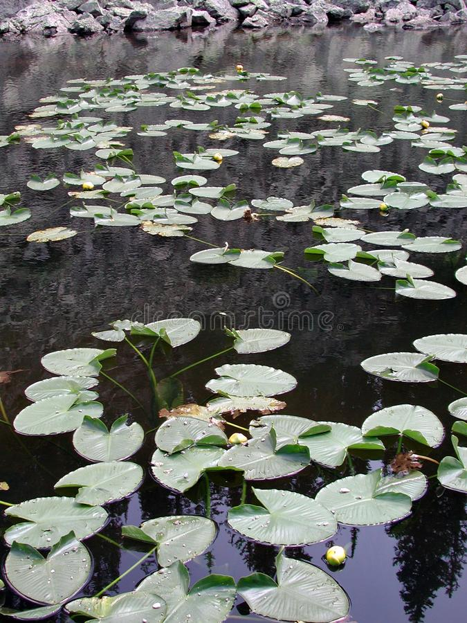 Yellowstone Lily Pads Stock Photos