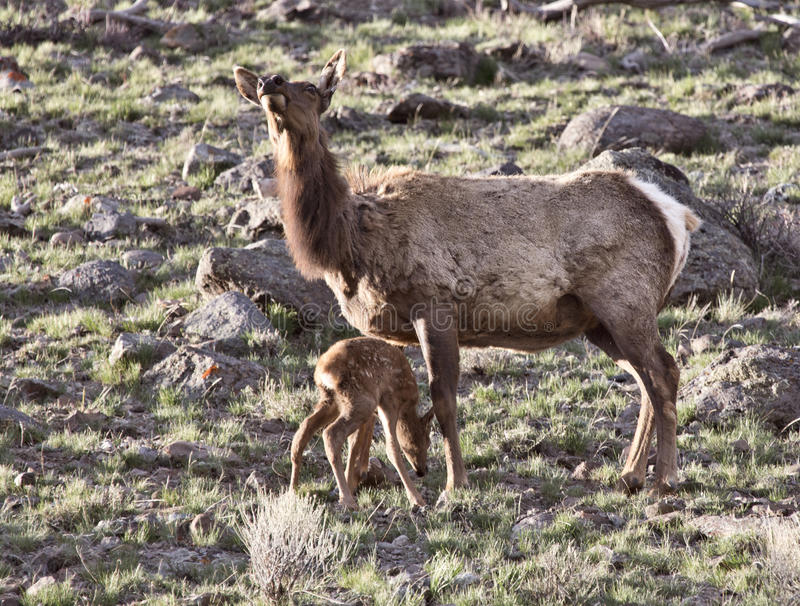 Yellowstone National Park. Female Elk And Young Calf Baby stock photography