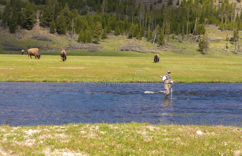 Yellowstone national park fly fishing man standing on river nature with buffalos on the background. Yellowstone national park fly fishing man standing on river stock image
