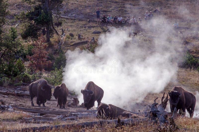 Yellowstone przyroda, żubr w strumień wentylacjach fotografia stock