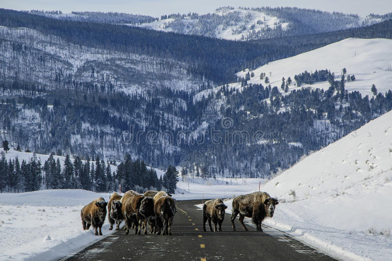 Yellowstone road block royalty free stock photo