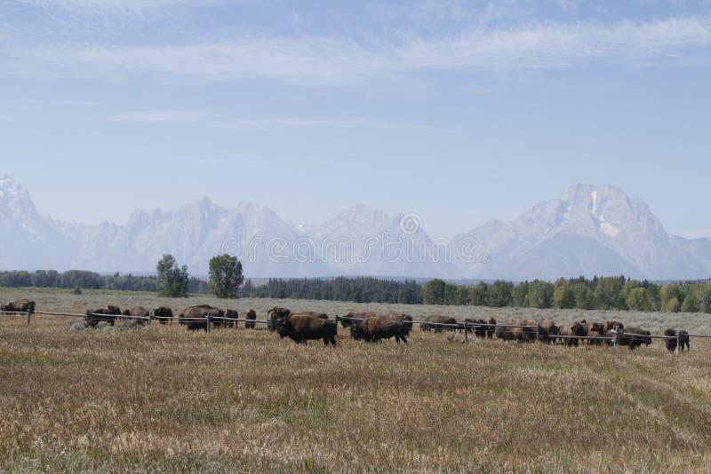 Yellowstone tusen dollar Tetons royaltyfria foton