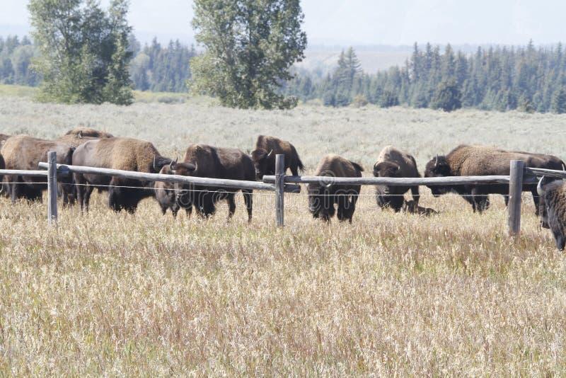 Yellowstone tusen dollar Tetons arkivfoton