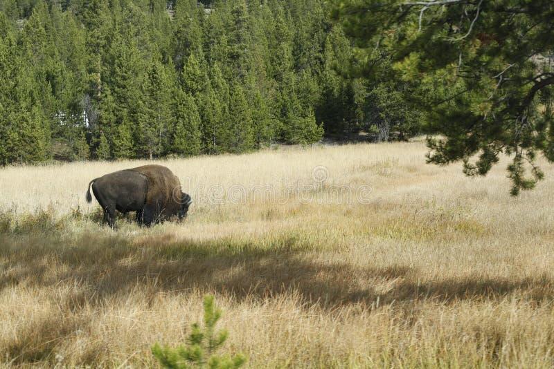 Yellowstonebizon stock fotografie