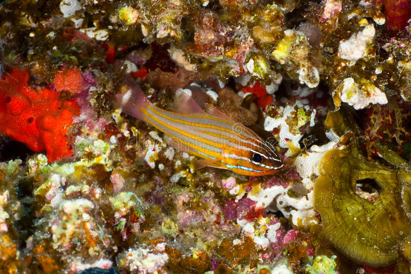 Yellowstriped Cardinalfish lizenzfreies stockfoto