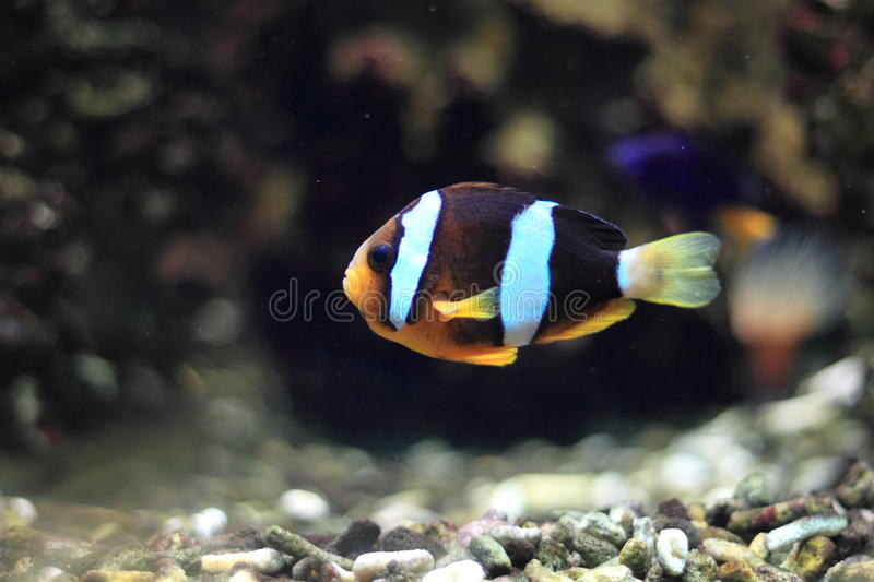 Yellowtail clownfish royalty-vrije stock fotografie