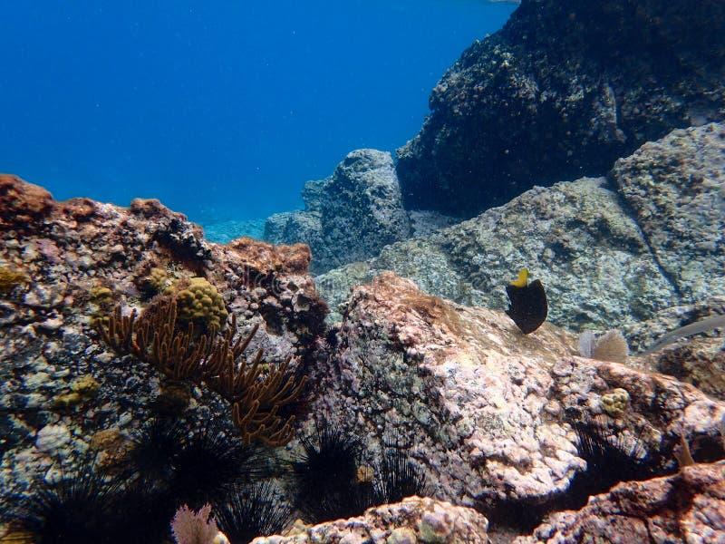 Yellowtail Damselfish swimming in the Caribbean sea royalty free stock image