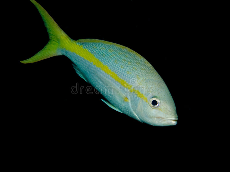 Yellowtail Snapper stock photography