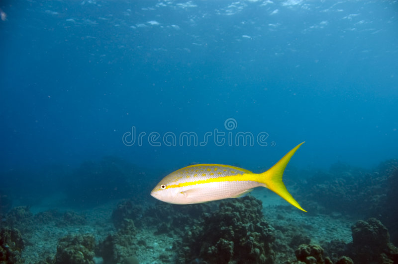 Download Yellowtail snapper stock photo. Image of coral, salt, ocean - 4604522