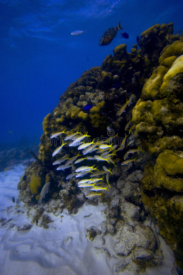 Download Yellowtail Snappers stock photo. Image of water, creature - 337724