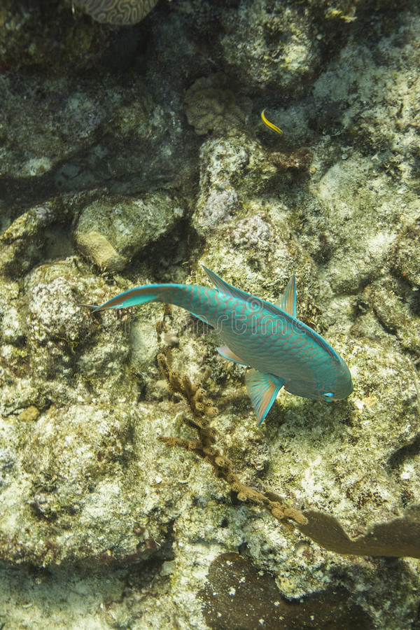 Yellowtailparrotfish arkivbilder