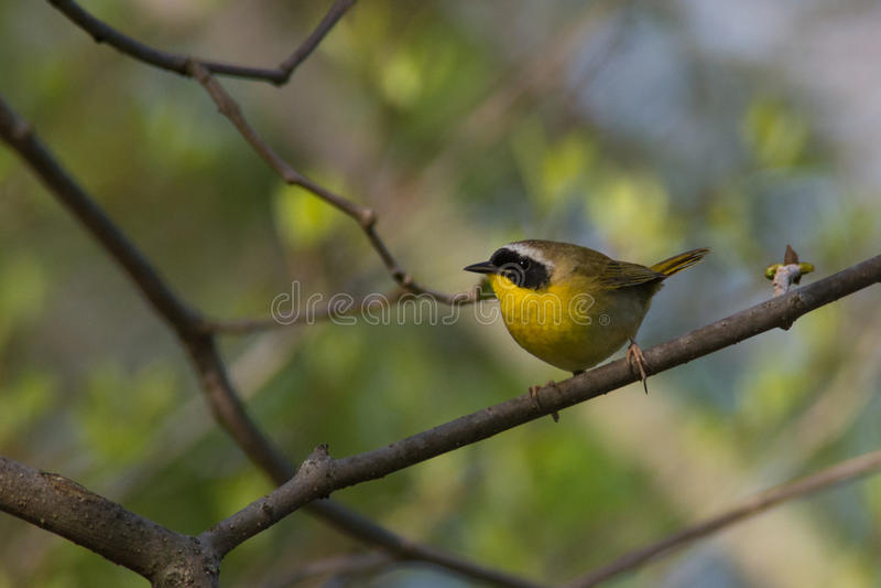 Download Yellowthroat commun photo stock. Image du clavettes, avien - 45360324